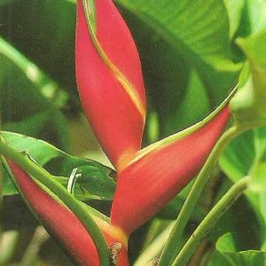 Heliconia Oridle Orange